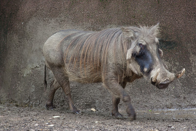 Wart hog in zoo, tail down