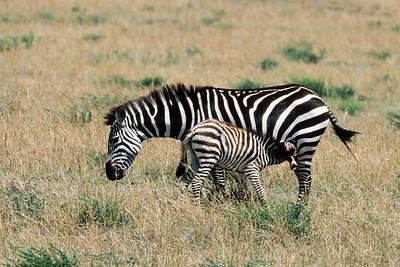 Zebra colt nursing