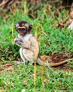 Newborn baby monkey, tail longer than body