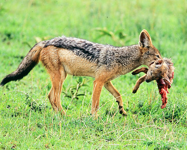 Jackal dining on bat earred fox