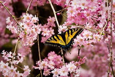 Swallowtail on cherry blossoms