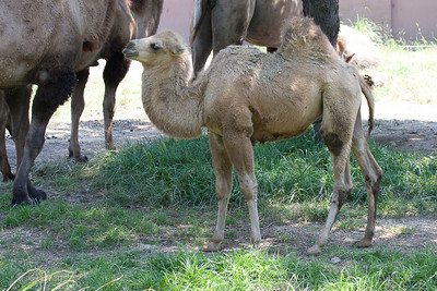 Baby camel learns how to urinate