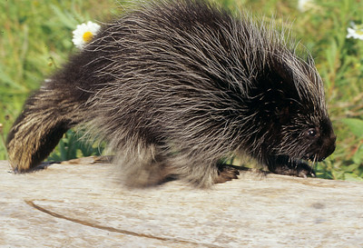 Porcupine tail is used for defense