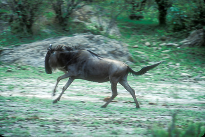 Wildebeest runs to catch up with migration
