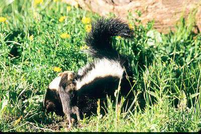 Skunk nurses an opposum infant  (fake scene)