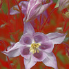 Be Mine Columbine