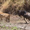 ...and ends up chasing the lion off.  The wildebeest horns could do some damage--that's why the lion is running.