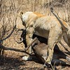 Meanwhile, lioness #1 made a second kill and is dragging under another tree.