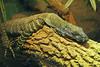 Basking Crocodile Monitor