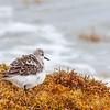 sanderling puff