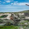 dune deer