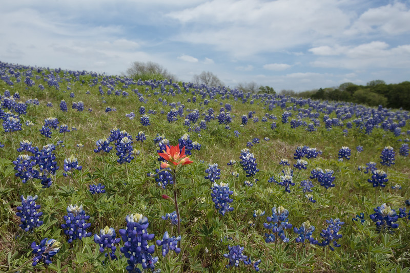Apr 12-Blue Bonnet Trail, Ennis, TX-0369
