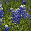 Apr 12-Blue Bonnet Trail, Ennis, TX-0330-Edit