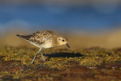 Pacific Golden Plover (Pluvialis fulva) with a little worm