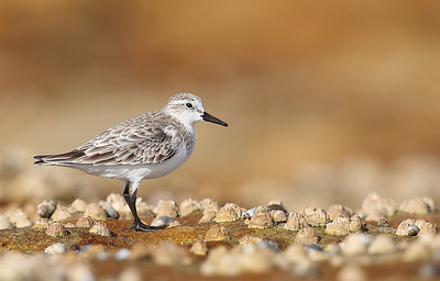 Red-Necked Stint (Calidris ruficollis) non-breeding