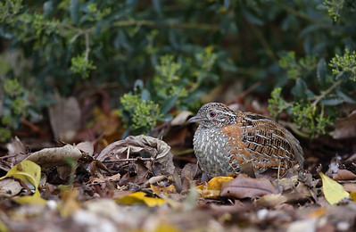 Painted Button Quail (Turnix varius)