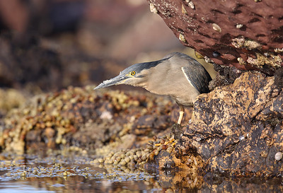 Striated Heron (Butorides striata) adult