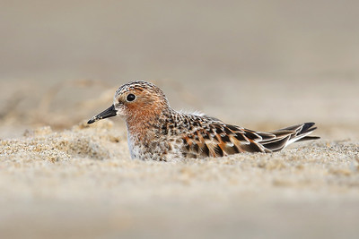 Red necked Stint (Calidris ruficollis) going into breeding plumage
