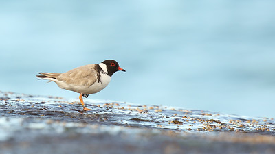 Hooded Plover (Thinornis rubricollis) adult