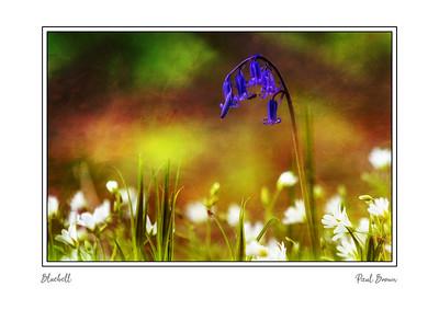 Bluebell Framed A3
