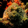 Scorpion Fish - Thailand<br /> <br /> The scorpion fish, one of the most venomous in the world, uses camouflage, and the ability to remain completely motionless, to snap up small unsuspecting fish. For a diver, they look like the rest of the coral, and many have reached out and placed their hands right onto them - another good reason never to touch anything on the reef. Semi-hidden spines in the dorsal fin are coated with a venomous mucous, and they slide right in to human flesh, creating what has been documented as days and weeks of searing pain.