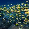 Big Eyed Yellow Snapper - Thailand<br /> <br /> A darting school of yellow stripe Snapper in the bath-warm waters of the Similan Islands.