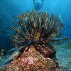 Feather Star, Similan Islands - Thailand<br /> <br /> Diving across the surface of huge, house-sized boulders, gives you the sensation of flight. Here, a slowly waving, and walking, feather star watches divers 'fly' by.