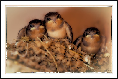 Blue Swallow Chicks - Moriarty, New Mexico