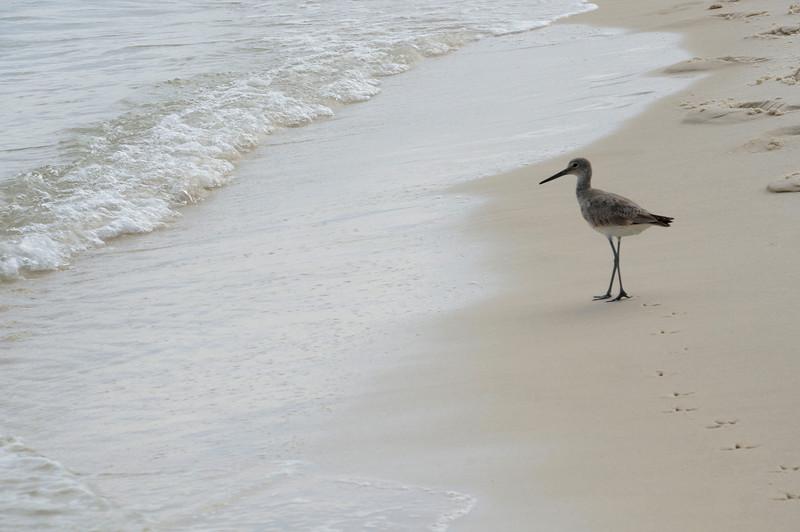 Shore Bird Stroll