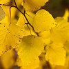 Birch leaves in the sun in my backyard.<br /> <br /> Why it's in the best of 2010 - because it makes me smile.  The sunny yellow color and the way the focus falls off gently speak of peace to me.  I was on my back deck when I noticed these and went for the camera.  I spent several minutes playing in the leaves, framing and shooting.  This composition works the best and I love the overall color palette.  Sometimes spontaneity produces the best shots.