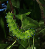 Caterpillar of Giant Peacock Moth - Saturnia Pyri<br /> Found on our Plum tree July 2011. It is approx. 110 mm long and as thick as a mans finger.