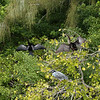 Yellow-Crowned Night-Herons and Anhingas