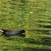 Common Gallinule  (Common Moorhen)