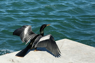 Anhinga in breeding colours