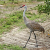 Sandhill Crane in an Orange Grove