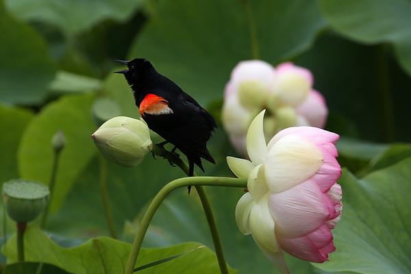Red-winged Blackbird on Lotus Bud