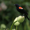 Red-winged Blackbird  on Lotus Bud