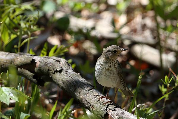Hermit Thrush ??  at Rondeau Park