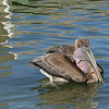 Brown Pelican - trouble with a large fish