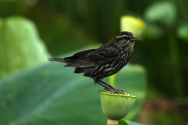 Red-winged Blackbird (female) on Lotus Seed Pod