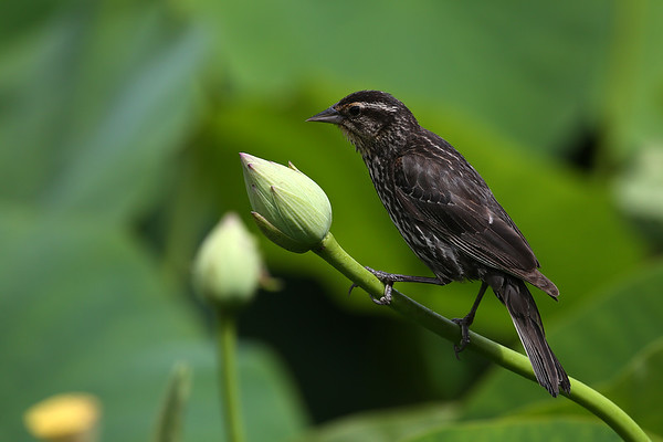 Red-winged Blackbird (female) on Lotus Bud