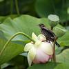 Red-winged Blackbird  on Lotus Flower