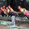 Brown Leghorn roosters