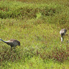 Sandhill Cranes with young colts