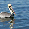 Brown Pelican, male