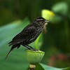 Red-winged Blackbird (female) on Lotus Bud