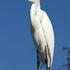 Great Egret in breeding colors