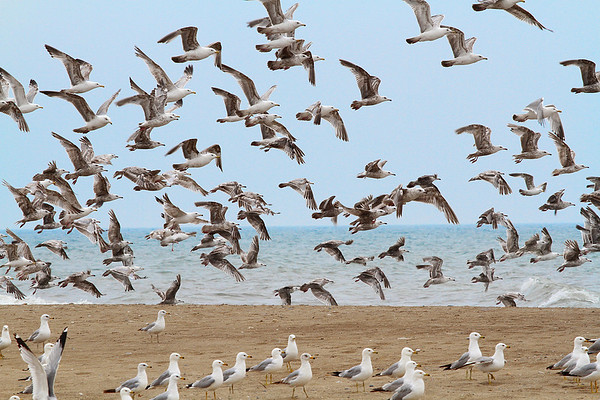 Ring-Billed Gulls at the beach