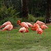 American Flamingo at rest
