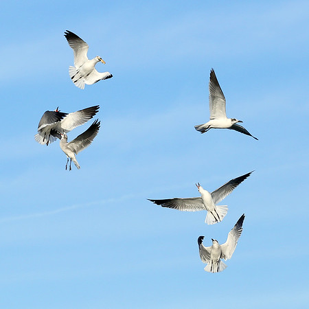 Seagulls after the one on top with the food